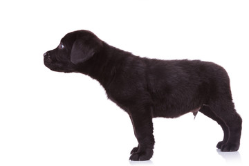 labrador retriever puppy dog sniffing something