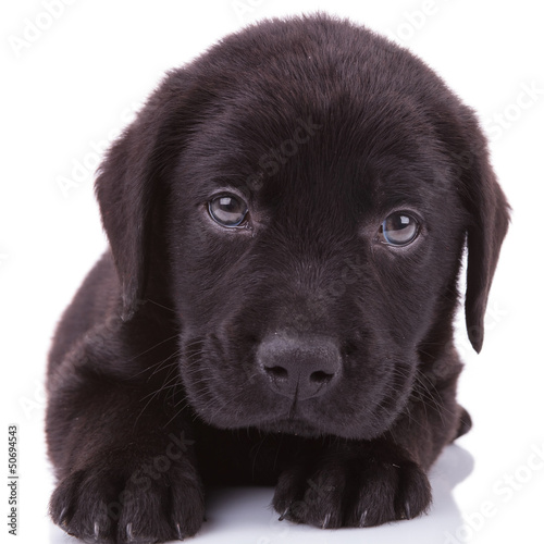 black labrador retriever puppy dog looking into the camera