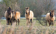Konik horses in nature in winter