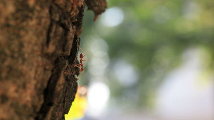 Red Ant on Tree