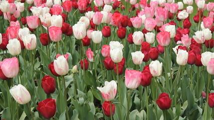Parisian tulips. Springtime in the Jardin du Luxembourg.