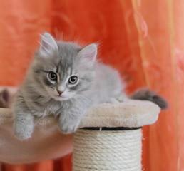 Gattino siberiano a due mesi
