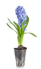 Beautiful brightly-blue hyacinths on a white background