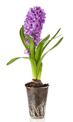 Beautiful purple hyacinths flowers isolated on a white backgroun