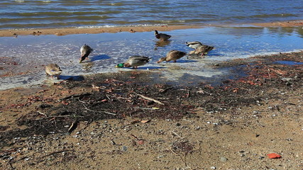 Ducks searching through the wet, muddy shore for food