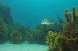 Snapper in kelp forest