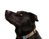 Australian pure bred kelpie black dog poster