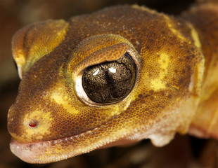 a close up of a brown gecko