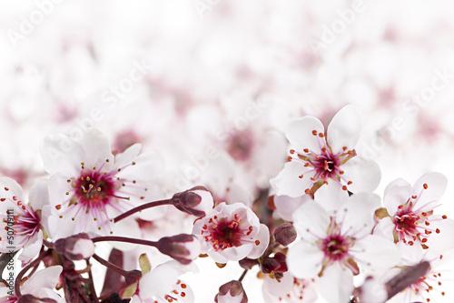 Keuken foto achterwand Kersen Cherry blossoms