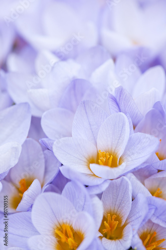 Fototapeten,krokusse,lila,blume,blühen