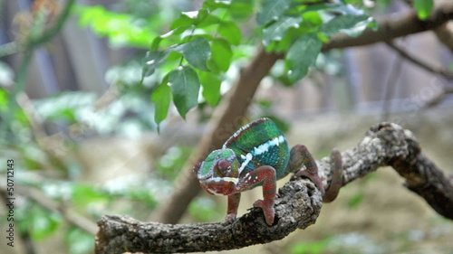 Chameleon with a bright color sits on a branch and rolls eyes