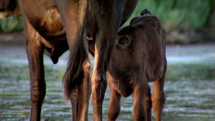Cow nursing calf in the wild...