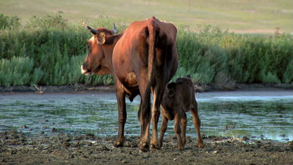 Cow nursing calf in the wild...
