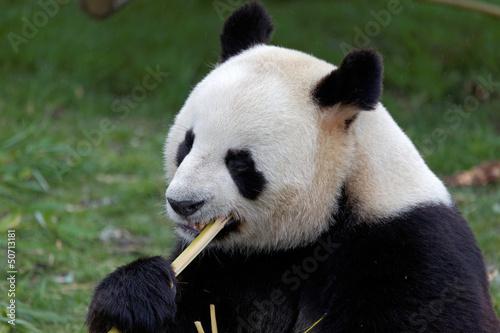 Foto op Canvas Panda Panda géant - Zooparc de Beauval (France)