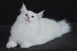 gatto bianco 2