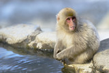 Japanese macaque Sticking Out Tongue