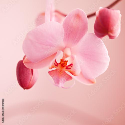 kwiat różowy storczyk wiosna