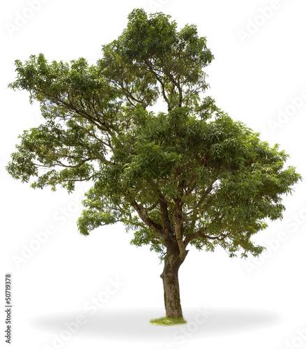 arbre fruitier tropical, manguier