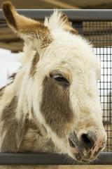 Serious Donkey