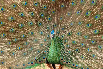 Close up of peacock showing its beautiful feathers.