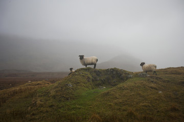 Sheep grazing on misty farm