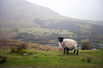 Sheep grazing with valley in background