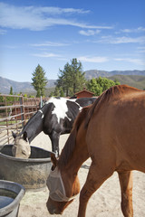 Horses feeding from buckets