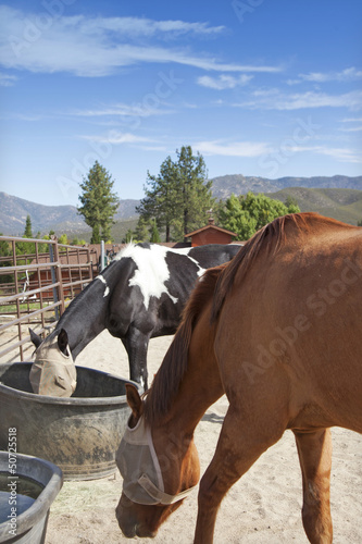 Horses feeding from buckets