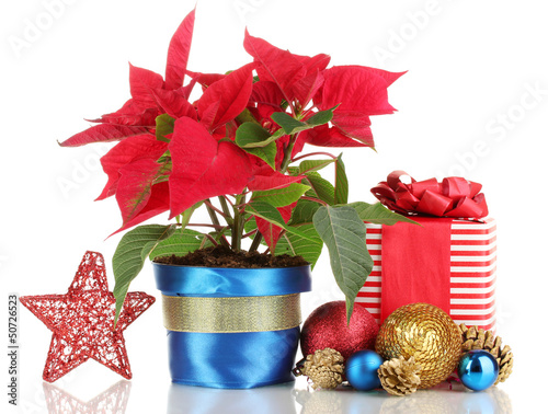 Beautiful poinsettia with christmas balls and presents isolated