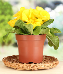 Beautiful yellow primula in flowerpot