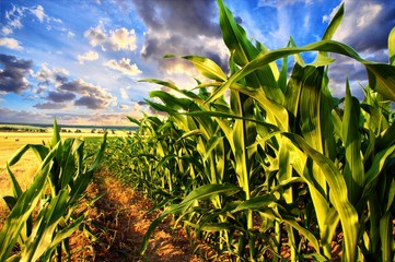Corn field and sky with beautiful clouds