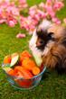 portrait d'un cochon d'inde qui  mange
