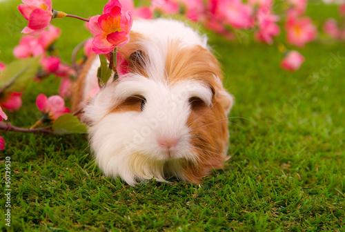 cobaye femelle de race shelty sur une pelouse