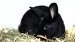 Cute black rabbit eating salad