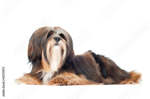 Lhasa Apso dog laying down