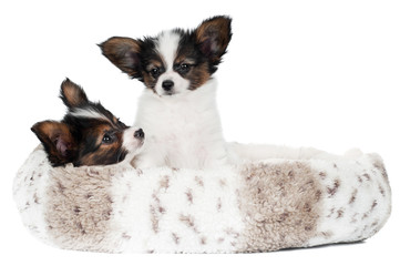 two papillon puppies in a dog bed