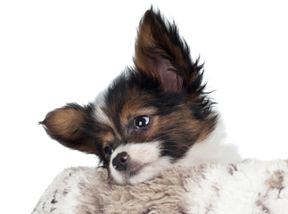 Adorable papillon puppy resting