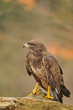 Isolated Common Buzzard standing on branch