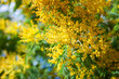 Blossoming spring Acacia dealbata
