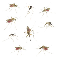Mosquitos isolated on white background