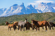 Wild horses in the National Park Torres del Paine, Chile