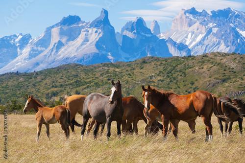 Dzikie konie w Parku Narodowym Torres del Paine w Chile