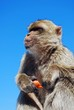 Barbary ape holding carrot © Arena Photo UK