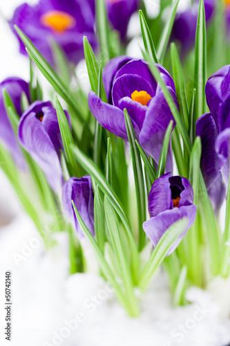 Early spring - crocus flowers in snow