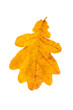 Yellow oak leaf isolated