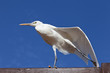 Little Egret against blue sky
