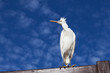 Little Egret, Egretta garzetta against blue sky