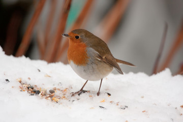Robin redbreast on snow with seeds