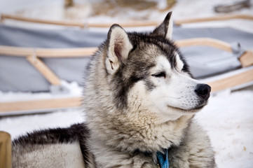 Husky, chien de traîneau