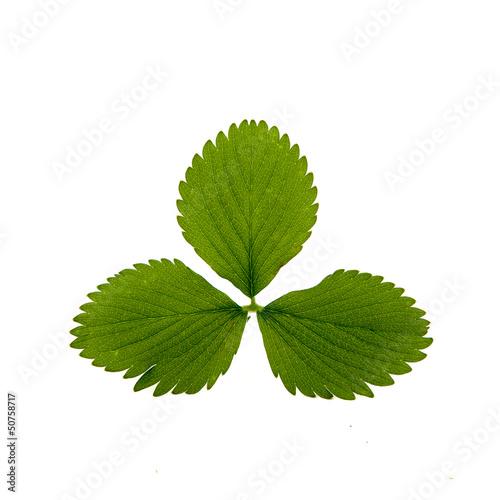 Erdbeer Blätter Freisteller I
